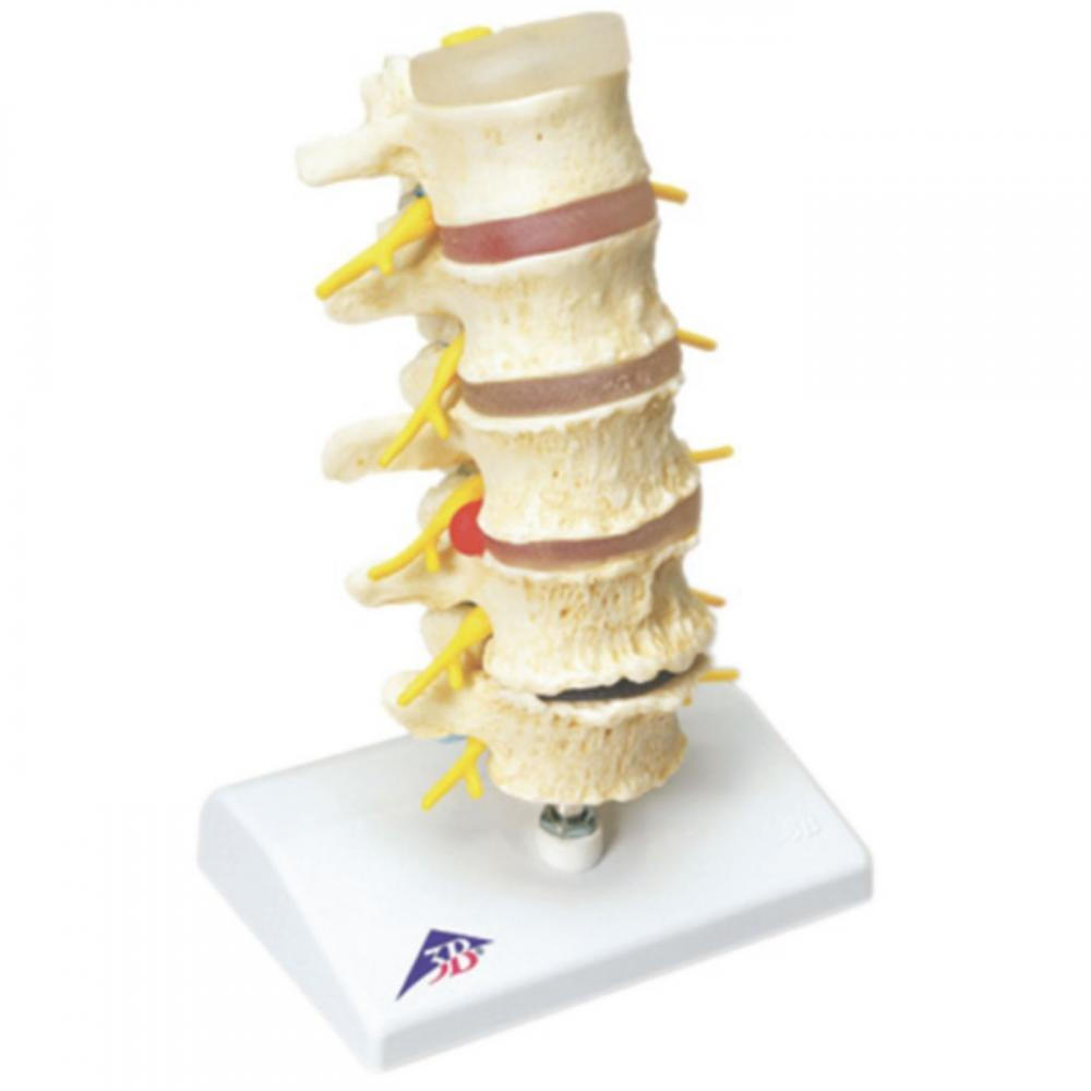 Anatomical Spine Model